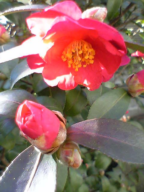 満開に咲きました。
